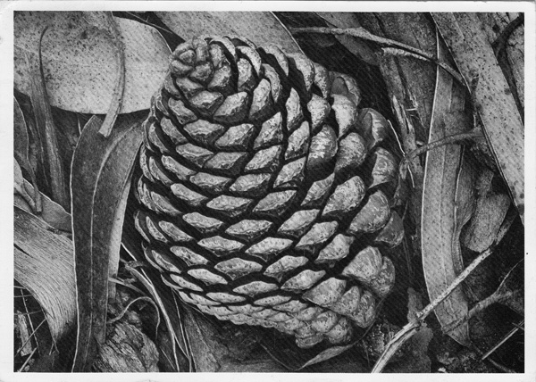 Pine Cone and Eucalyptus Leaves, San Francisco, California (SIGNED photographic postcard). Ansel Adams.